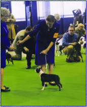 Me showing Ch. Katbird's You Should Be Danicin' at the Westminster Dog Show 2013